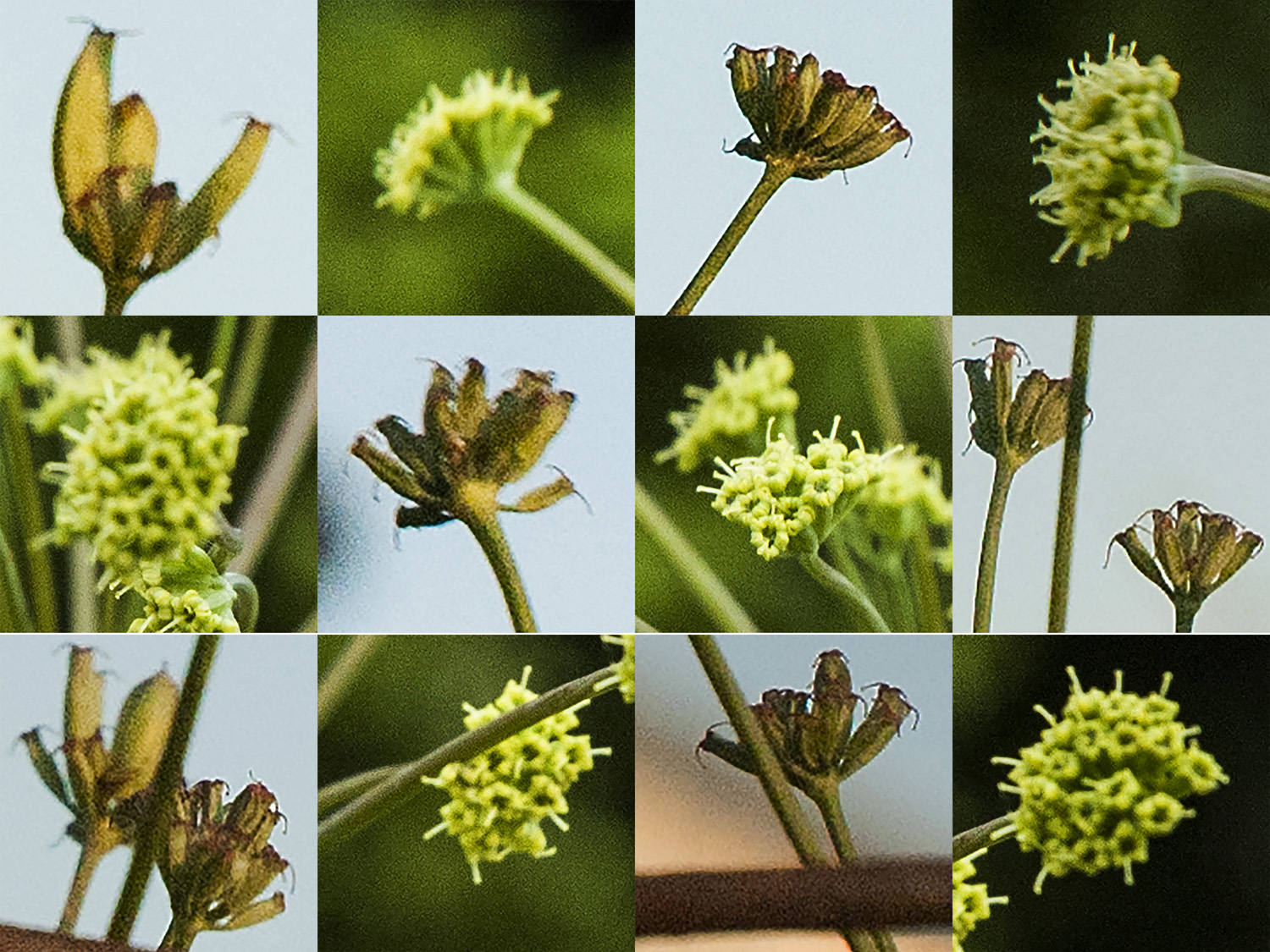 castle & ingram 2014 Lomatium nudicaule flowers that become seeds