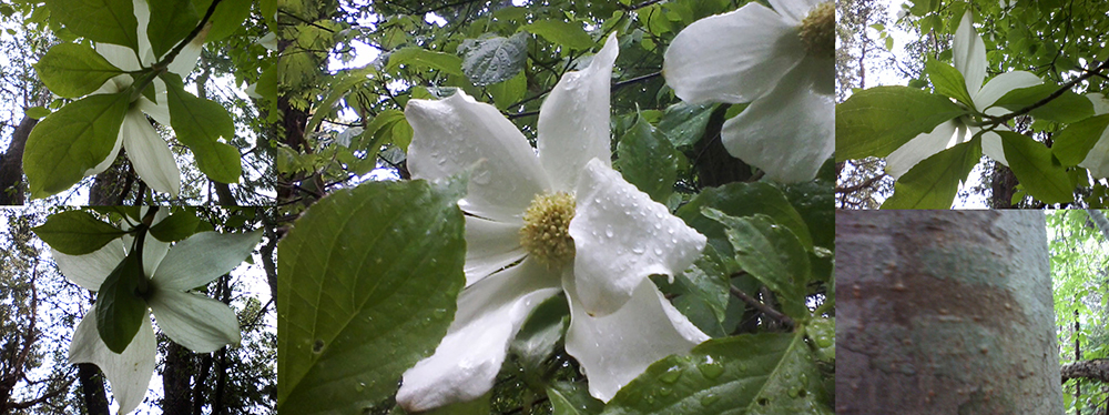 #5 Pacific dogwood in a rainstorm 2014 May 14 Mt Maxwell Salt Spring Island - castle & ingram #06 (small)