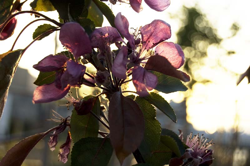 crabapple blossoms 22 April 2010 Railtown Studios green roof Vancouver by Gordon Brent Ingram