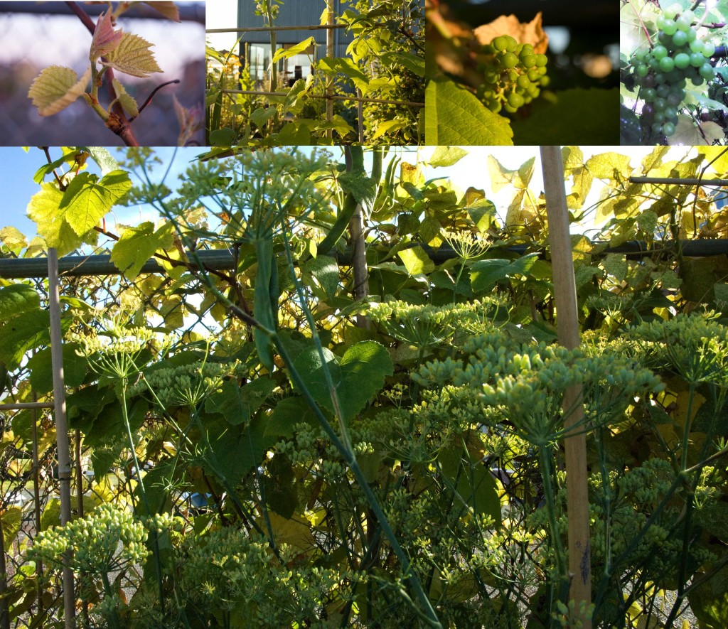 grape vine ripening with fennel and scarlet runner beans 2010 (small)