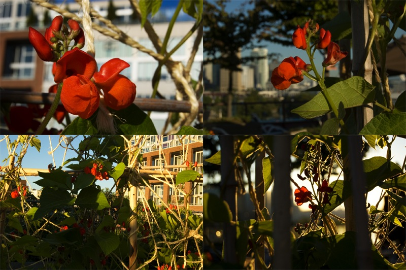 scarlet runner bean composite July 2010 Railtown Studios green roof Vancouver by Gordon Brent Ingram