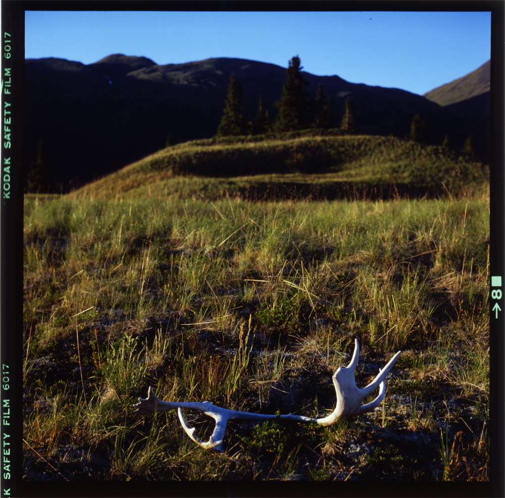 antlers - upper Tuaton - Spatsizi - British Columbia August 1981 by Gordon Brent.jpg Ingram (small)