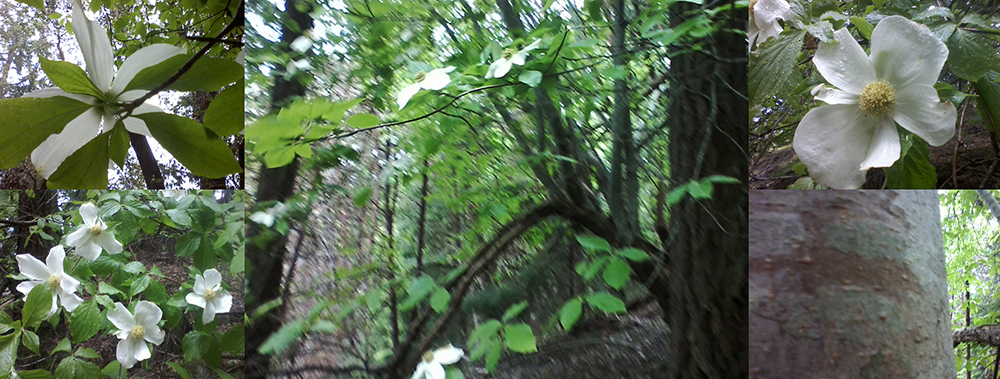 #3 Pacific dogwood in a rainstorm 2014 May 8 Mt Maxwell Salt Spring Island - castle & ingram #01(small)